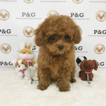 Poodle Toy Puppy For Sale In Temple City Ca Adn 71074 On