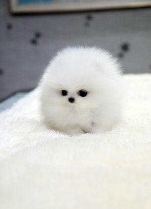 10 Ide Anjing Minipom Di 2020 Anjing Binatang Anak Anjing Lucu