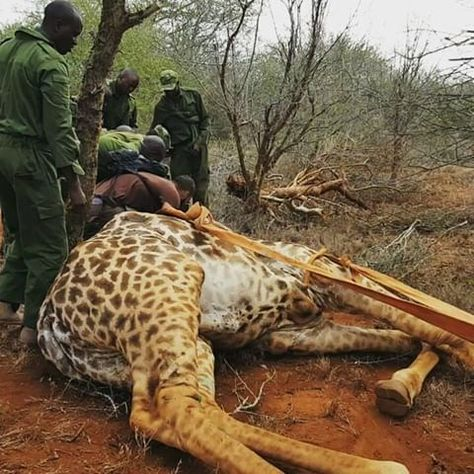 Heroes Rescue A Giraffe From A Wire Snare Trap Set By Bushmeat Poachers
