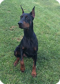Pin By Jennifer Sano On Dogs Who Need Rescue Doberman Pinscher