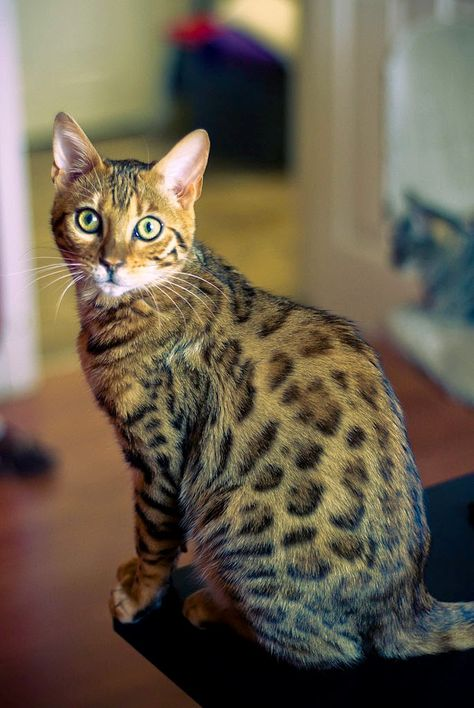 4 Surprising Facts About Bengal Cat