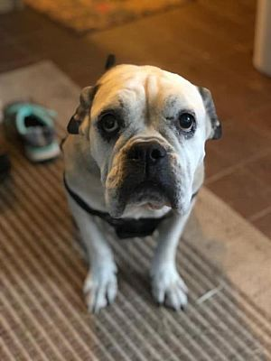 New York Ny American Bulldog Meet Demi A Pet For Adoption
