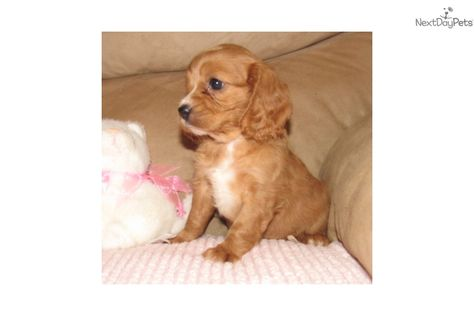 Savannah Cavapoo Puppy For Sale Near Springfield Missouri