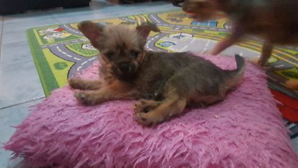 Aust Chihuahua Dogs Gumtree Male Miniature Pomeranian Pup