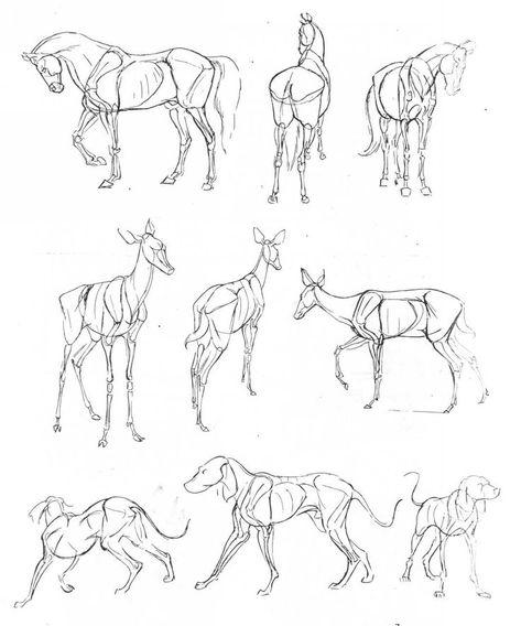 Anatomical Drawings Of Animals Rehe Zeichnen Tiere Zeichnen Zeichnungen