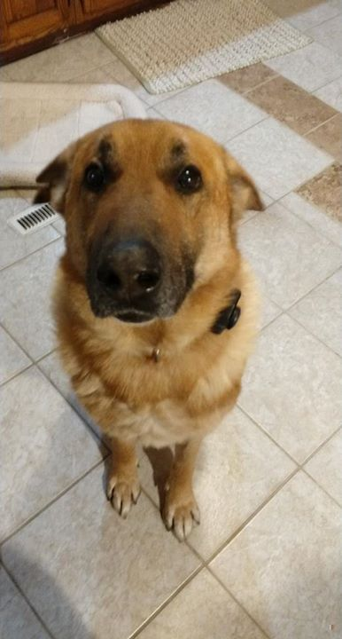 Lost Dog Evansville German Shepherd Dog Male Date Lost 02 27 2020 Dog S Name Diesel Breed Of Dog German Shepherd Dog Gender In 2020 Losing A Dog Dogs Dog Names