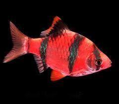 Starfire Red Tiger Barb Glofish Glofish Tiger Fish Glow Fish
