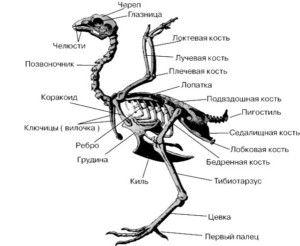 Anatomia Del Pollo En La Estructura Del Esqueleto Y Organos