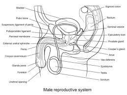 Sistema Reproductor Masculino Imagen Para Dibujar Con Sus Partes Buscar Con Google Sistema Reproductor Imagenes Para Dibujar Aparato Reproductor Femenino