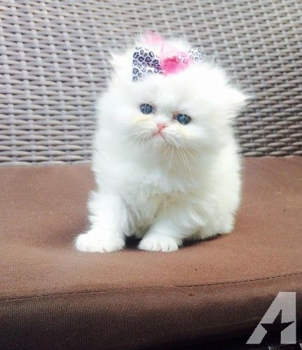 Persian Kittens For Sale Waz Zap What Sapp 60172415563 For Sale Adoption From Kuala Lumpur Adpost Com Classifieds Persian Kittens Kitten For Sale Kittens