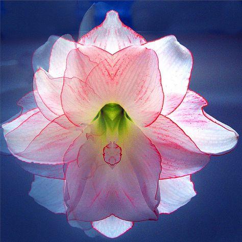 Flower Beauty by Stanley Zimny, via Flickr- Amaryllis