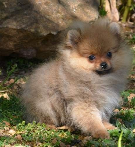 A Donner Chiot Type Spitz Nain Femelle A Lons Le Saunier Animaux Mai Clasf Animaux Chiot Pomeranien Chien Nain Spitz Nains