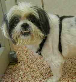 11 Year Old Lhasa Mix Looking For A Wonderful Adult Home Up For Adoption At Houston Humane Society 14700 Almeda Rd Ho Pet Adoption Humane Society Adoption