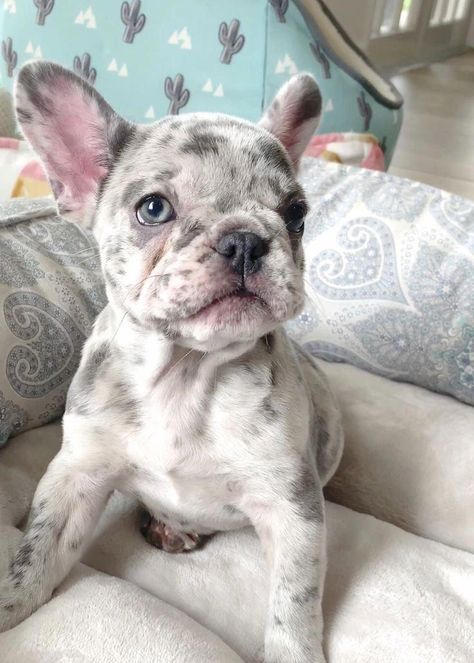 The Beagle Is A Type Of Little Hound Originally Bred As Scent Hounds To Assist Hunters They Are Wid French Bulldog Puppies Bulldog Puppies Cute Little Animals