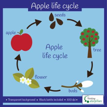 This Apple Life Cycle Clip Art Set Has 22 Images 11 Color 11 Black And White Included Apple Apple Wi Apple Tree Life Cycle Apple Life Cycle Apple Tree