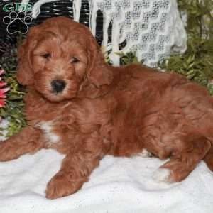 Mini Goldendoodle Puppies For Sale In 2020 Goldendoodle Puppy Goldendoodle Mini Goldendoodle Puppies