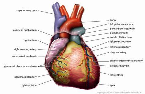 Heart anatomy, Human heart, Blood pressure