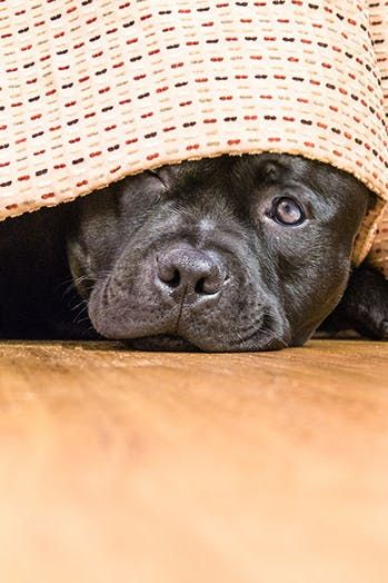 7 Ways To Keep Dogs Calm During Fireworks With Images Calm Dogs