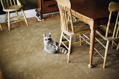 {Raccoon in the house} when nature gets a little bit closer... photo by Chad Siddall