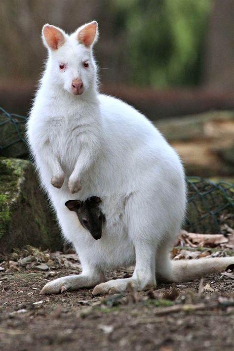 white (or albino) wallaby - Animals wild, Animals cutest, Animals funny, Animals drawings Rare Albino Animals, Unusual Animals, Strange Animals, Cute Baby Animals, Animals And Pets, Funny Animals, Animal Jokes, Gorila Albino, Beautiful Creatures