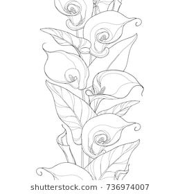 Vector Seamless Pattern With Outline Calla Lily Flower Or Zantedeschia Flower Bud And Leaves In Black On The Wh Lilies Drawing Calla Lily Tattoos Lily Images