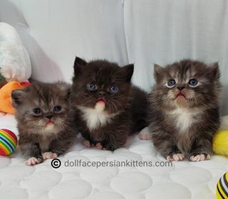 Pin On Teacup Persian Kittens