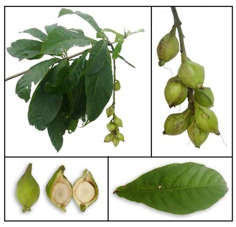 246 best nycd medicinal foods images on pinterest herbs medicinal 246 best nycd medicinal foods images on pinterest herbs medicinal plants and healing herbs ccuart Image collections
