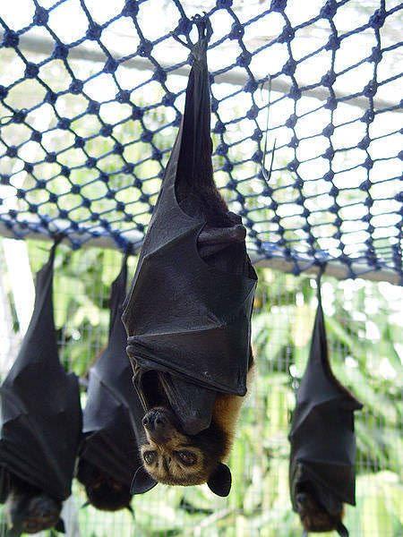 ちょっと閲覧注意 世界最大の オオコウモリ がリアル吸血鬼すぎて腰を抜かす 2016年9月5日 エキサイトニュース オオコウモリ コウモリ 生き物