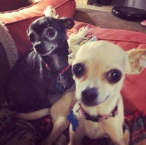 Roo Adoptable Dog Adult Female Chihuahua Dog Adoption Dogs