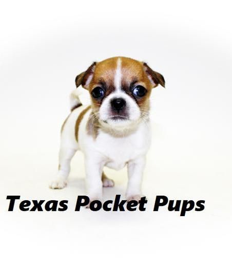 Dallas Tx Teacup Chihuahua Puppies For Sale Dallas Texas Breeder