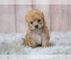 Puppyfinder Com View Ad Listing French Bulldog Puppy For Sale Adn 61562 California San Diego Usa Bulldog