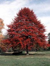 Nyssa sylvatica, Black Gum/ Tupelo, one of the finest native trees for fall color. Few of the finest nurseries are growing it, including Harmony Hill Nursery if Downingtown, PA