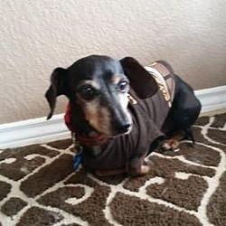 Humble Tx Dachshund Meet Nacho A Pet For Adoption Dachshund