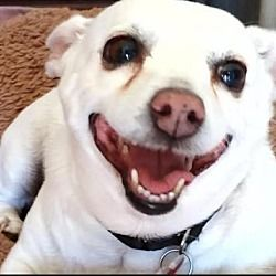 San Diego California Chihuahua Meet Luella A For Adoption Https Www Adoptapet Com Pet 28221304 San Diego Californi In 2020 Pet Adoption Pets Labrador Retriever