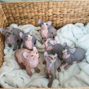 This Basket Full Of Elf Kittens Have All Found Their New Homes We Are So Excited For Their New Families To Bring Them Spynx Kitten Hairless Cat Sphynx Elf Cat