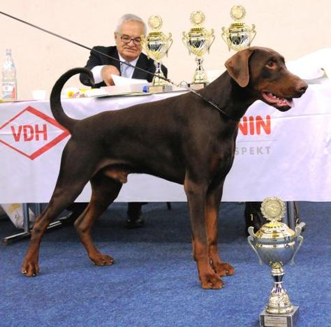 Natural Doberman Louis Vondobermann Did Not Envision His Breed To