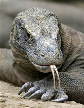 Komodo Dragon. Besides being the largest lizard on the planet, they are the only other poisonus lizard besides the Gila Monster.