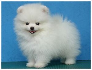 Register Male And Female Pomeranian Puppies For Adoption Now In 2020 Pomeranian Dog White Pomeranian Puppies Dog Breeds