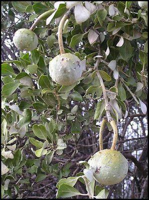 Australian Wild Orange Australian Native Plants Australian Native Garden Australian Plants