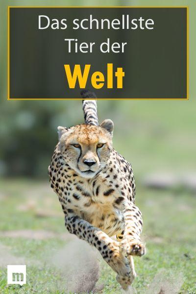 Das Schnellste Tier Der Welt Tiere Weltrekorde Und Welt