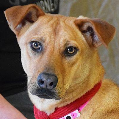 Huntley Il Labrador Retriever Meet Sadie A Pet For Adoption Pet Adoption Pets