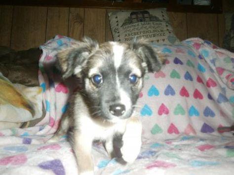 Adopt Juliet On Adoptable Dachshund Dog Long Haired Dachshund