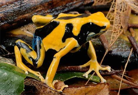 What Do Frogs Eat Dart Frog