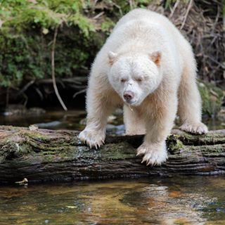 """Oh, and don't forget that this is where the """"spirit bear"""" AKA the Kermode bear…"""