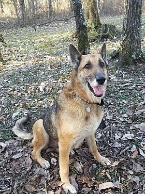 Norfolk Va German Shepherd Dog Meet Ava A Pet For Adoption Shepherd Dog German Shepherd Dogs Dogs