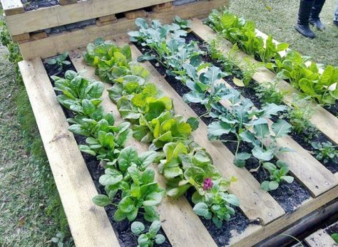 weekend project-wood pallet garden herb and leafy green garden.