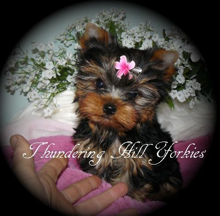 Yorkies For Sale In British Columbia Canada Baby Doll Yorkies For Sale In B C Canada Tea C In 2020 Yorkies For Sale Yorkie Puppy For Sale Yorkshire Terrier For Sale