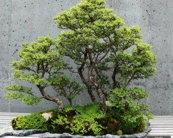 Albizia Julibrissin Mimosa Bonsai Pink Tree 10 Seeds Rare In 2020 Chinese Elm Bonsai Pink Trees Bonsai Tree