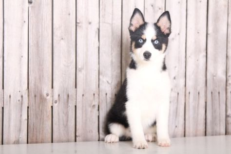Siberian Husky Puppy For Sale In Mount Vernon Oh Adn 33198 On