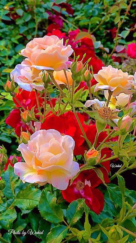 Photo #roseGarden